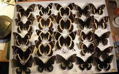 Vintage South American Swallowtail Butterflies in glazed display case - Papilio sp. - 16×39×50 cm