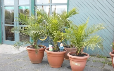 Three Areca palm plants complete with pots (3)