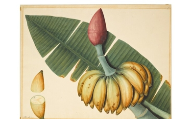 A plantain (musa balbisiana) and a mango (mangifera foetida), possibly an Indian or Chinese artist, Company School, India or South East Asia, early 19th century