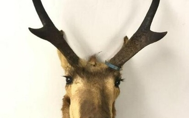 NORTH AMERICAN PRONGHORN SHOULDER MOUNT TAXIDERMY