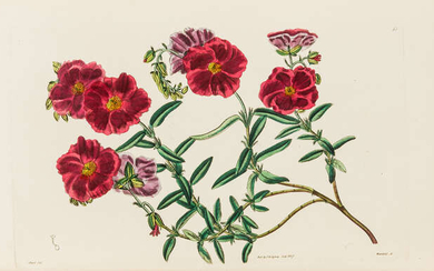 Botany.- Sweet (Robert) Cistineæ. The Natural Order of Cistus, or Rock-Rose, first edition, 1825.