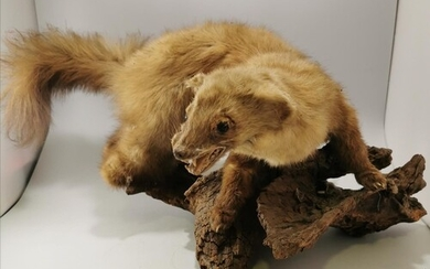 VINTAGE TAXIDERMY PINE MARTEN MOUNTED ON A LOG BASE - NOSE T...