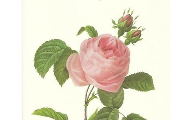 After Pierre-Jospeh Redoute, Floral Print, #118 Rosa