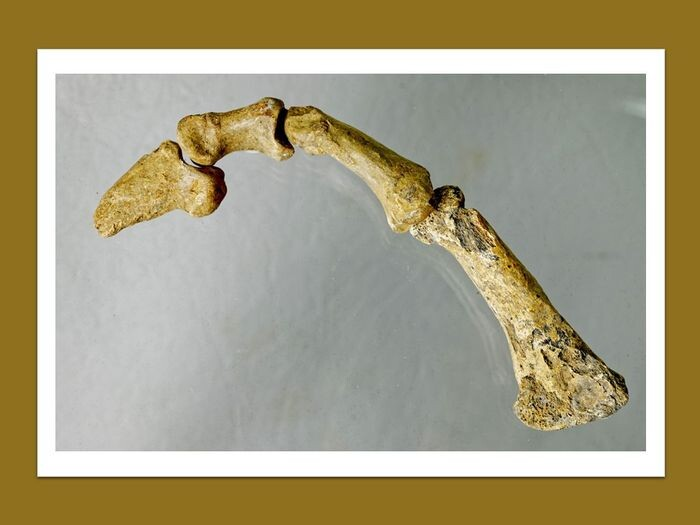 complete finger of a cave bear - very well preserved bone with a claw - Ursus spelaeus - 17.5×3.2×2.2 cm