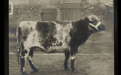 Unknown photographer - A Group of 38 Stunning Photographic Portraits of Cattle - Bulls and Cows, c. 1900